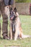 Het Belgische type van herdershond van tervuren stock foto