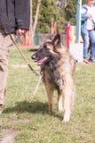 Het Belgische type van herdershond van tervuren royalty-vrije stock afbeeldingen