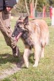 Het Belgische type van herdershond van tervuren stock foto's