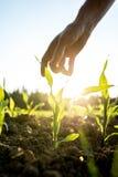 Het bereiken voor jonge maïsinstallatie Stock Afbeeldingen