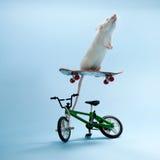 Het berijden van de muis Stock Foto