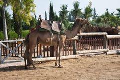 Het berijden van een kameel Royalty-vrije Stock Foto's
