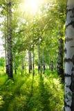 Het berkehout van de zomer met zon stock fotografie