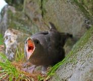 Het beschermen van nest en zelf-defensie De noordse stormvogel spuugt stinkend bijtend oranje walvisspek in ogen van roofdier Stock Foto