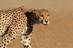 Het besluipen Jachtluipaard Royalty-vrije Stock Afbeeldingen