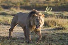 Het besluipen van de leeuw stock foto's