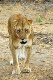Het besluipen van de leeuwin in de reserve Selous Stock Afbeelding