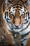 Het Besluipen van de tijger Stock Afbeeldingen