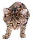 Het besluipende Katje van de Gestreepte kat Stock Afbeeldingen