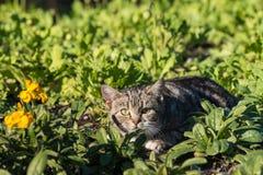 Het besluipende Katje van de Gestreepte kat Stock Foto