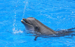 Het bespatten dolfijn Royalty-vrije Stock Afbeeldingen