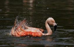 Het bespatten van de flamingo Royalty-vrije Stock Afbeelding