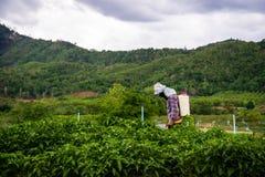 Het bespuiten op het Spaanse pepergebied Royalty-vrije Stock Foto's