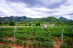 Het bespuiten op het Spaanse pepergebied Royalty-vrije Stock Foto