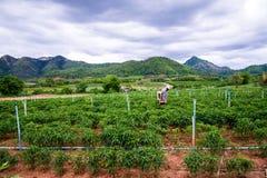 Het bespuiten op Spaanse pepergebied Stock Foto's