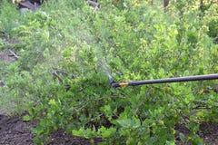 Het bestrooien van kruisbesstruiken met fungicide in de lente royalty-vrije stock fotografie