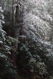 Het bestrooien van sneeuw op donkere bomen in daling of de winter Royalty-vrije Stock Foto's