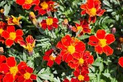 Het bestuiven van de hommel bloemen Stock Fotografie