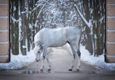 Het bevallige Arabische paard stellen in de winter in openlucht stock foto's
