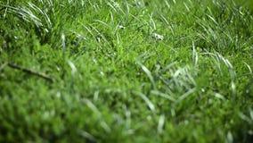 Het beven grasmacro stock video