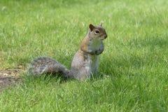 Het bevindende kijken van Grey Squirrel Royalty-vrije Stock Afbeeldingen