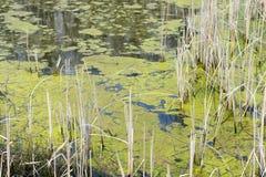 Het bevindende moeraswater met groene algen die op de oppervlakte drijven is royalty-vrije stock fotografie
