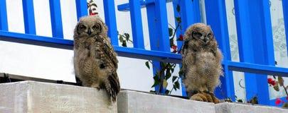 Het bevlekte Eagle Owl-kuikens sluimeren stock foto