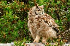 Het bevlekte Eagle Owl-sluimeren royalty-vrije stock fotografie