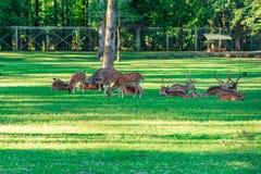 Het bevlekte Hert bepaalt op het groene gras stock afbeeldingen