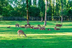 Het bevlekte Hert bepaalt op het groene gras royalty-vrije stock afbeeldingen