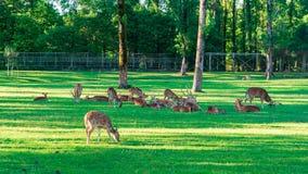 Het bevlekte Hert bepaalt op het groene gras stock fotografie