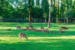 Het bevlekte Hert bepaalt op het groene gras stock foto's