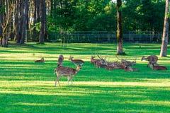 Het bevlekte Hert bepaalt op het groene gras stock foto