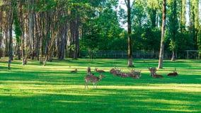 Het bevlekte Hert bepaalt op het groene gras royalty-vrije stock foto