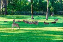 Het bevlekte Hert bepaalt op het groene gras royalty-vrije stock afbeelding