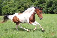 Het bevlekte Paard Lopen Stock Foto's