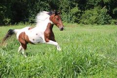 Het bevlekte Paard Lopen Stock Afbeeldingen