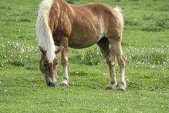 Het bevlekte paard weiden Stock Foto's
