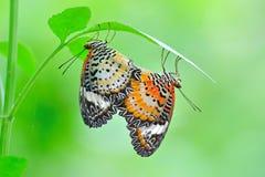 Het bevlekte vlinder koppelen Stock Afbeelding