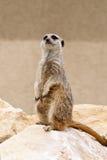 Het bewaken meerkat stock afbeeldingen