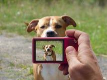 Het bewaken van de hondbeeldzoeker in camera van de kuilstier stock fotografie