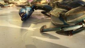 Het bewegen cheliped en zwemmende benen van blauwe krab stock video