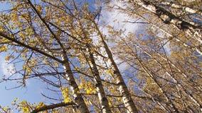 Het bewegen zich door berkbos in de herfst stock footage