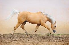 Het bewegen zich van de poney Royalty-vrije Stock Foto's