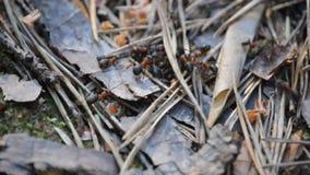 Het bezige mieren werken. stock footage