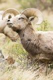 Het Bighorn staart stock foto