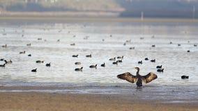 Het bijeenroepen - Grote Zwarte Aalscholver Stock Foto