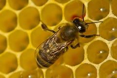 Het bijen volledige werk bij het creëren van honingraten Stock Fotografie