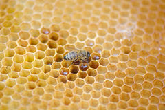 Het bijenwerk aangaande honingraat Royalty-vrije Stock Foto