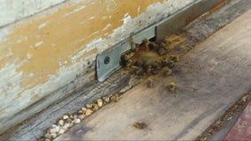 Het bijenwerk dichtbij de bijenkorf stock videobeelden